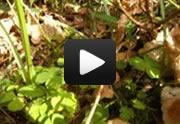 View a short video about picking Wood Sorrel
